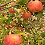 사과나무(홍로)접목1년특묘|Echeveria Hongro