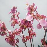 럭스 배고니아(신품종) 베고니아(대품)|Begonia