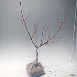 남경도화(꽃복숭아)(진핑크 겹꽃) 복숭아꽃|