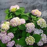 수국 올썸머 뷰티1주(22cm포트)|Hydrangea macrophylla