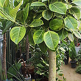 뱅갈고무나무(대)|Ficus elastica