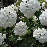 에스키모분꽃나무|