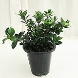 꽃치자 공기정화식물 
