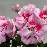 제라늄.예쁜핑크색. Geranium/Pelargonium