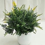 애니시다 공기정화식물(꽃) 