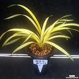 황금강(3-4촉)/난/동양란/공기정화식물/꽃/분재/수반/옹기/나라아트|