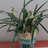동양란.천초.(춘란무늬종)체가 예쁩니다.8촉.꽃대.향기좋습니다.|