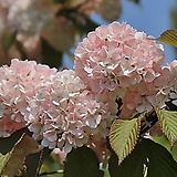 분홍오데마리#2(꽃과 향기가 일품인 오데마리~)|