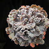 제이드스타 대품 (Echeveria agavoides \'Jade Star\', offset)