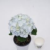잉크블루수국 야생화 노지월동 수국|Hydrangea macrophylla