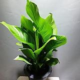 스파트필름 대엽 공기정화식물 중품 119 