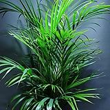 아레카야자 대품 공기정화식물 관엽식물 399 