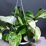무늬몬스테라스킨오레우스 공중식물 공기정화식물 75 