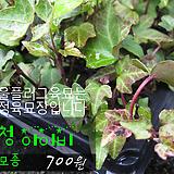 청아이비(ivy) 실내공기정화식물모종 700원 (단독주문시 5000원이상주문가능)|Heder helix