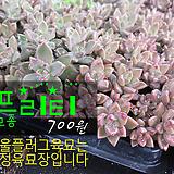 프리티 다육모종 700원 (단독주문시 5000원이상주문가능)|Graptoveria Gilva