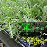 마리노라벤더(Marino Lavender) 허브모종 700원 (단독주문시 5000원이상주문가능)|