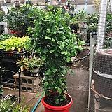특대품 110-120 하트 고무나무|Ficus elastica