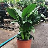 스파트필름 수경재배 공기정화 미세먼지제거식물|