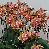 호접란.브라더로렌스.신품종.(고급스러운색).색상예쁨.희귀종.잘나오지않는품종.꽃잎이 두껍다|
