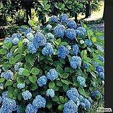 유럽목수국(니코블루) 삽목3년생 중부지방 노지월동 가능|Hydrangea macrophylla