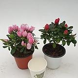 금황 핑크색무늬 or 미션 붉은색 철쭉 아젤리아 연산홍|