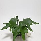 깨끗한 박쥐란 행잉플랜트 공중식물 공기정화식물 걸이식물|