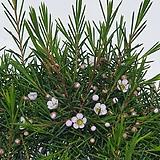 작고 귀여운 꽃이 오래가는 솔잎향 왁스플라워|Echeveria agavoides Wax