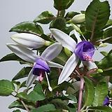 꽃이 쉼 없이 후쿠샤 후쿠시아 후쿠시야 |
