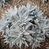 화이트그리니 19두자연군생 목대-19|Dudleya White gnoma(White greenii / White sprite)