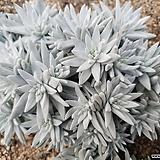 화이트그리니 28두자연군생 목대-28|Dudleya White gnoma(White greenii / White sprite)
