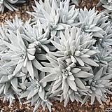 화이트그리니 30두자연군생 목대-30|Dudleya White gnoma(White greenii / White sprite)