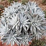 화이트그리니 32두자연군생 목대-32|Dudleya White gnoma(White greenii / White sprite)