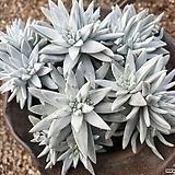화이트그리니 16두자연군생 목대-16|Dudleya White gnoma(White greenii / White sprite)