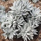 화이트그리니 17두자연군생 목대-17|Dudleya White gnoma(White greenii / White sprite)