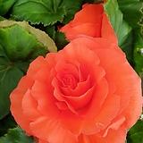 꽃이 너무 예쁜 구근베고니아|Begonia