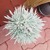 천녀검|Titanopsis calcarea