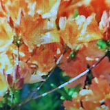 홍황철쭉|