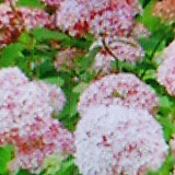 아나벨수국.분홍|Hydrangea macrophylla