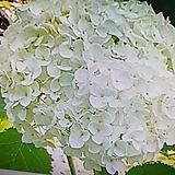 아나벨수국,백색|Hydrangea macrophylla