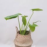 몬스테라 (포트) + 바구니 (세트) 45-50cm/ 공기정화식물 집들이선물 축하선물 카페인테리어|