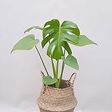 몬스테라 (포트) + 바구니 (세트) 50-55cm/ 공기정화식물 집들이선물 축하선물 개업선물 카페인테리어|