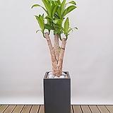행운목 (맛상) 개목 (시멘트사각완성분) 대품 인테리어식물 축하선물 회사식물 공기정화식물 카페식물|happy tree