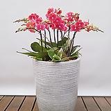 호접란 (금나비) 일반도자기완성분 대품 개업식물 선물식물 행사식물 축하선물|