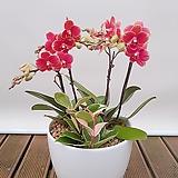 호접란 (금나비) 백자완성분 중품 개업식물 선물식물 행사식물 축하선물|