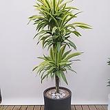 레몬라인 3단 (고급폴리원형완성분) 선물용식물 가정용식물 사무실식물 공기정화식물 집들이선물|