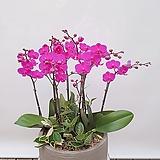 호접란 (만청홍) 대품 개업선물 축하선물 승진선물 행사용식물|