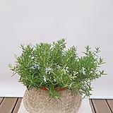 클리핑 로즈마리 + 바구니 (세트) 선물용식물 집들이선물 축하선물 사무실화분|Rosemary