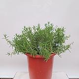 클리핑 로즈마리 공기정화식물 카페식물 선물식물 축하선물|Rosemary