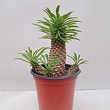 괴마옥 선인장 자구 랜덤발송|Euphorbia hypogaea
