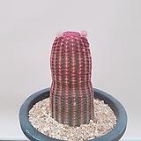 자태양 선인장|Echinocereus rigidissimus Purpleus